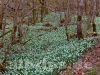 Märzenbecherblüte im Wolfstal