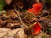 Kelchbecherling (vom Aussterben bedrohte Pilzart)