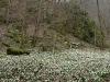 Ein Teppich aus Märzenbecherblüten