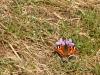 Schmetterling an Veilchen