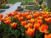 Tulpenblüte auf dem Gönninger Friedhof