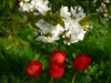 Tulpen im Streuobstland