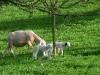 Schäfchen unter Obstbäumen