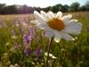 Blumenwiese mit Margeriten und Wiesensalbei