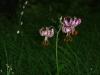 Türkenbundlilie mit Lilienhähnchen