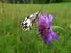 Acker-Witwenblume mit Schachbrett