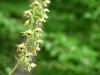 Unscheinbar, aber eine Orchidee (Stendelwurz)