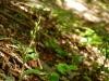 Verblühtes Waldvöglein (Orchidee)