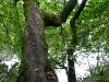 Querhängender Baum über der Donau