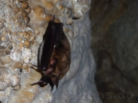 Fledermaus in der Sontheimer Höhle