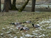 Frühlingsausflug der Enten