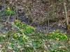 Sumpfdotterblumen an einer der raren feuchten Stellen im Wald