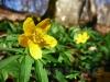Gelbe Buschwindröschen