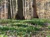 Blütenteppich im Wald