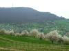 Kirschblüte oberhalb von Glems