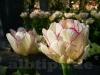 Gönninger Tulpenblüte 2012