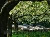 Schafherde unter Obstbäumen