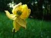 Angewelkte Trollblume (gefährdet und geschützt)