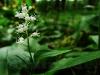 Zweiblättrige Schattenblume (Spargelgewächs)