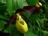 Gelber Frauenschuh (gefährdet und streng geschützt)