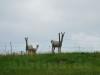 Alpakas auf der Schwäbischen Alb (Albakas?)