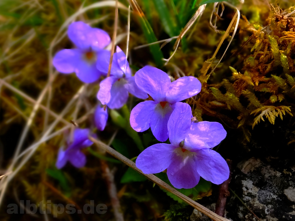 Schwabische Alb Aprilbluten 2016 Albtips De Schwabische Alb
