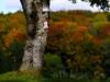 Herbstliche Buchenwälder