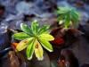 Zartes Wintergrün am Waldboden