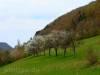 Streuobstblüte im Zellertal