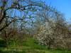 Streuobstblüte im Albvorland