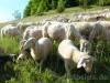 Schafherde unterwegs