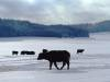 Albbüffel im Schnee