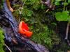 Zinnoberroter Kelchbecherling auf Totholz