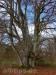 Alte Weidebäume
