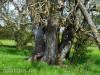 Baumwunder