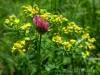 Blüten der Schwäbischen Alb