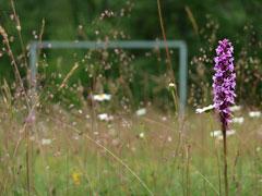 Orchideen auf dem Fußballplatz