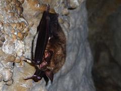 Fledermaus in der Sontheimer Höhle