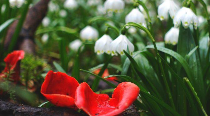 Märzenbecher mit Aprilwetter